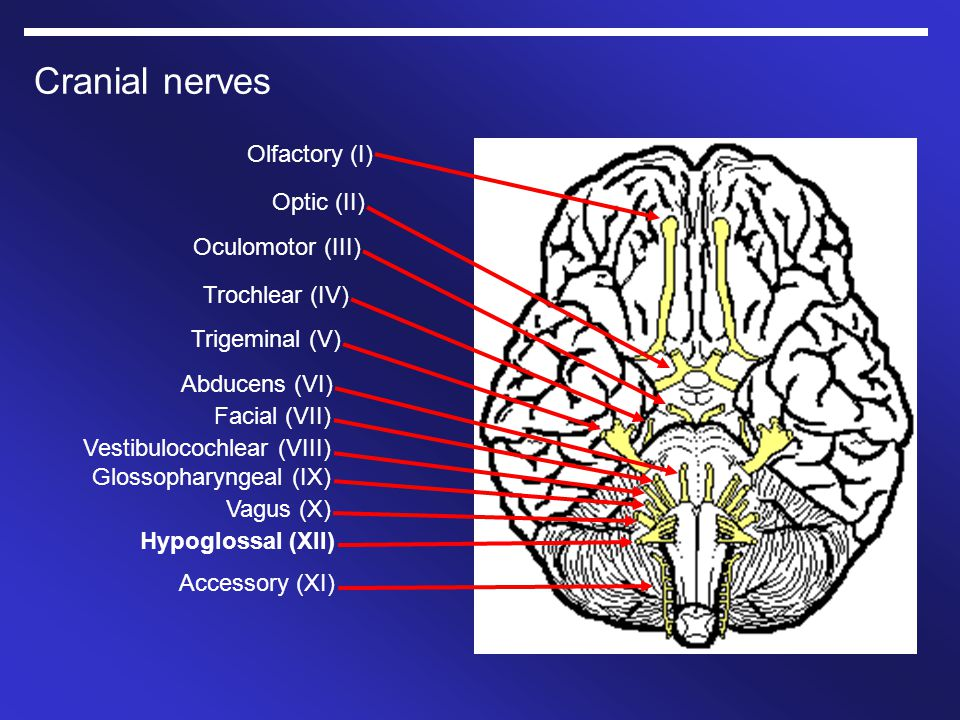 Cranial nerves Olfactory (I) Optic (II) Oculomotor (III) Trochlear (IV) Trigeminal (V) Abducens (VI) Facial (VII) Vestibulocochlear (VIII) Glossophary