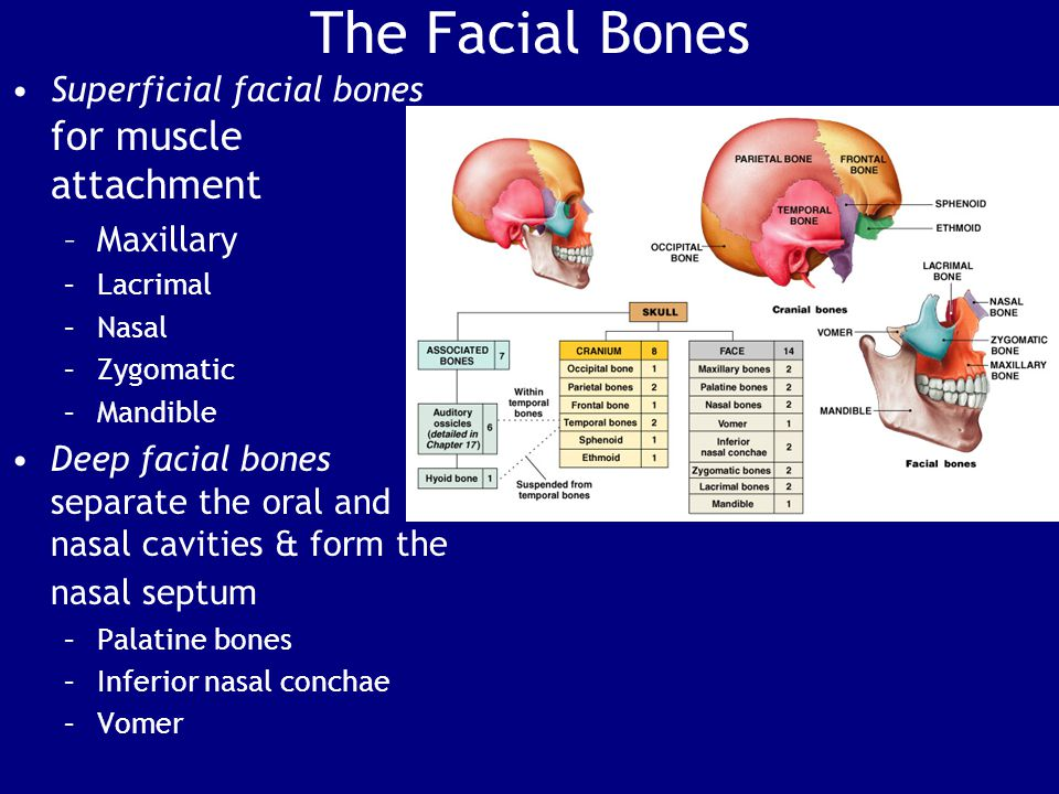 Facial Bones - 14 Maxillary (2) - Figure 7–10a Functions –Support upper teeth –Form inferior orbital rim –Form lateral margins of external nares –Form upper jaw and hard palate –Contain maxillary sinuses (largest sinuses) -failure to fuse results in cleft palate