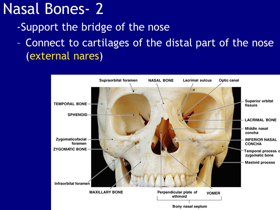 Nasal Bones- 2 -Support the bridge of the nose –Connect to cartilages of the distal part of the nose (external nares)