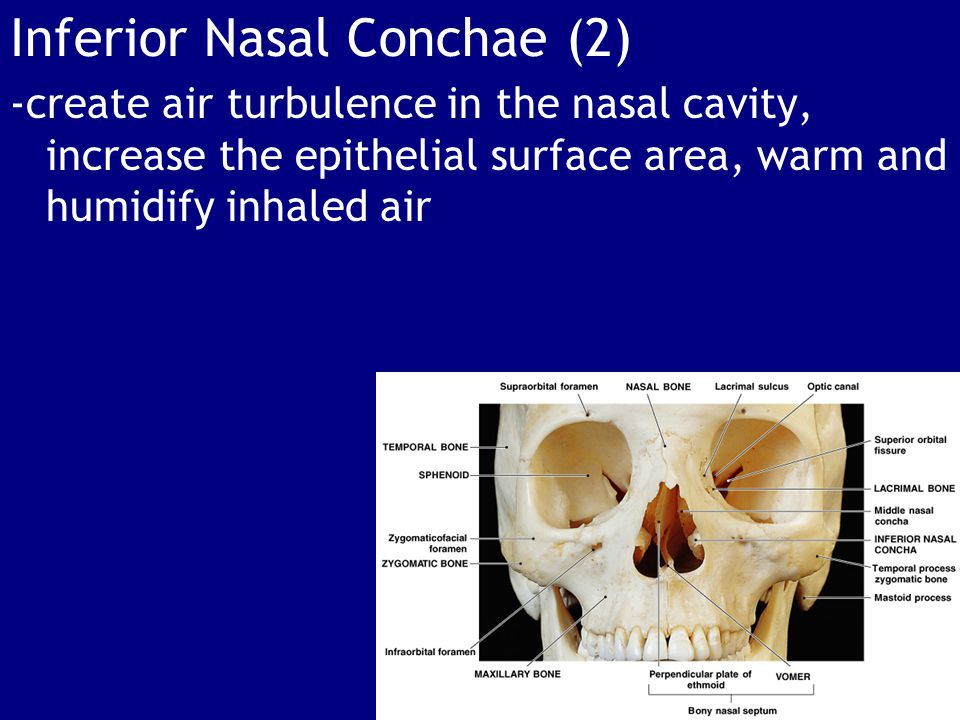Inferior Nasal Conchae (2) -create air turbulence in the nasal cavity, increase the epithelial surface area, warm and humidify inhaled air
