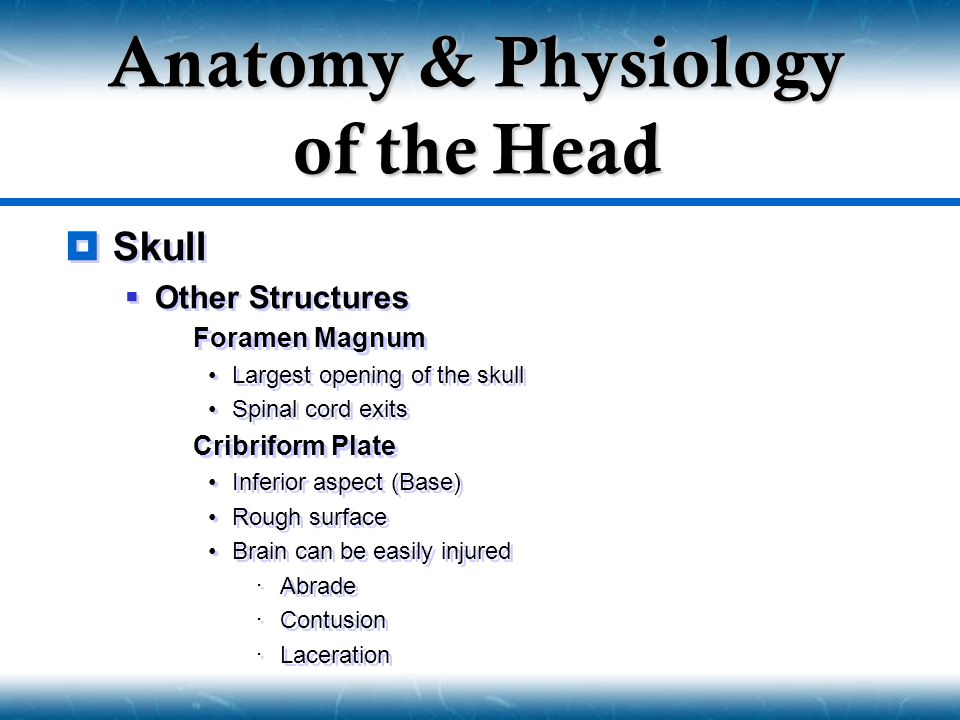  Skull  Other Structures  Foramen Magnum Largest opening of the skull Spinal cord exits  Cribriform Plate Inferior aspect (Base) Rough surface Bra