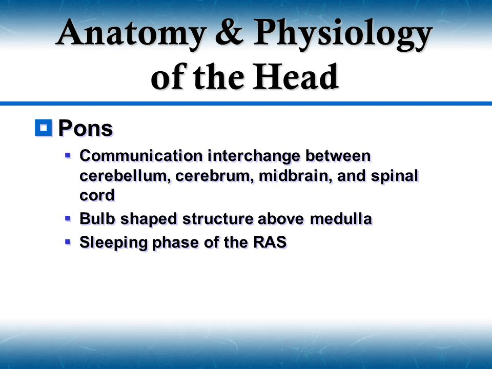  Pons  Communication interchange between cerebellum, cerebrum, midbrain, and spinal cord  Bulb shaped structure above medulla  Sleeping phase of t
