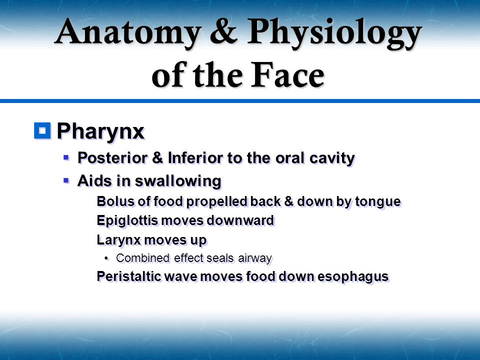  Pharynx  Posterior & Inferior to the oral cavity  Aids in swallowing  Bolus of food propelled back & down by tongue  Epiglottis moves downward 