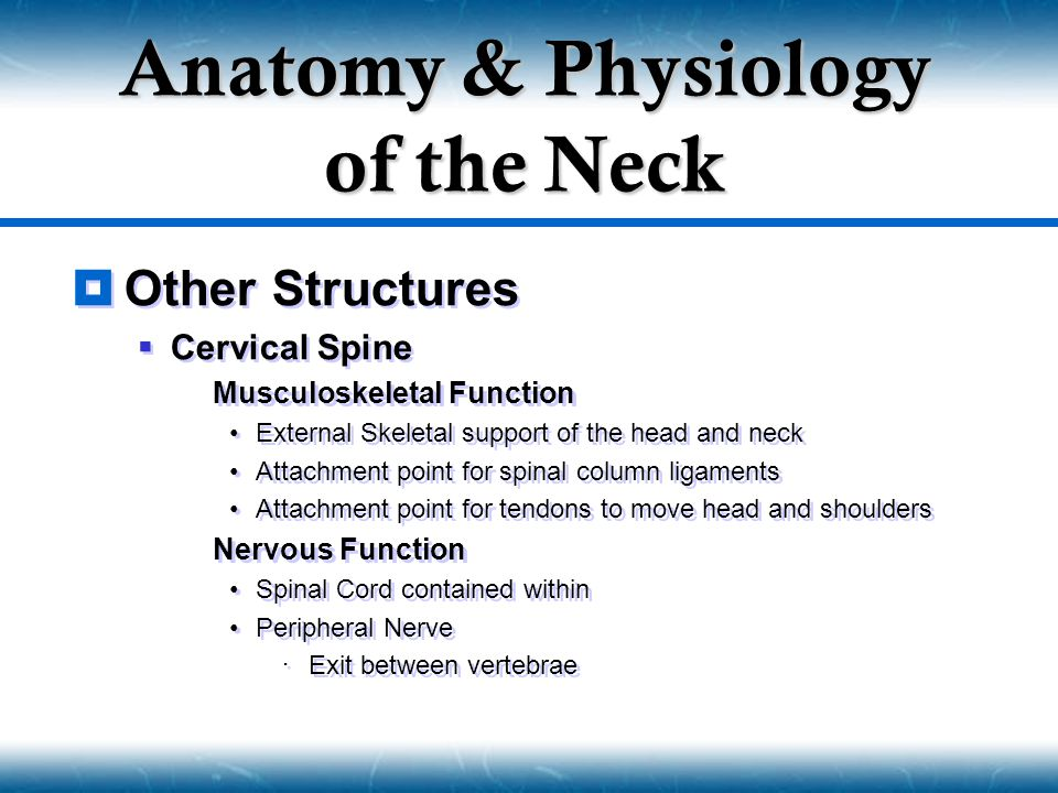  Other Structures  Cervical Spine  Musculoskeletal Function External Skeletal support of the head and neck Attachment point for spinal column ligam