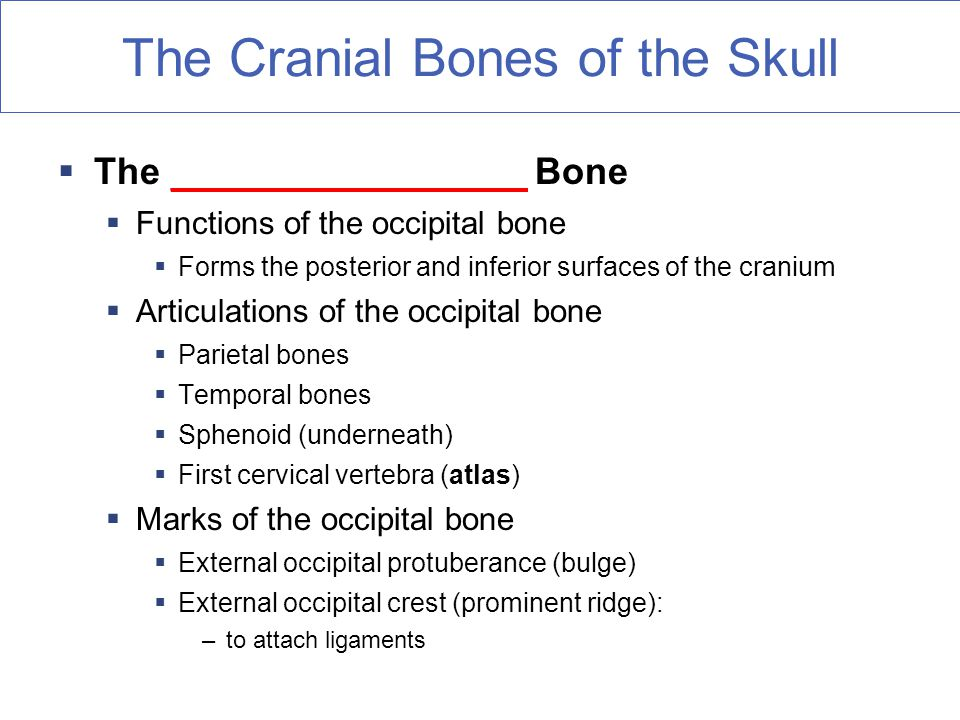 The Cranial Bones of the Skull  The _________________ Bone  Functions of the occipital bone  Forms the posterior and inferior surfaces of the cranium  Articulations of the occipital bone  Parietal bones  Temporal bones  Sphenoid (underneath)  First cervical vertebra (atlas)  Marks of the occipital bone  External occipital protuberance (bulge)  External occipital crest (prominent ridge): –to attach ligaments