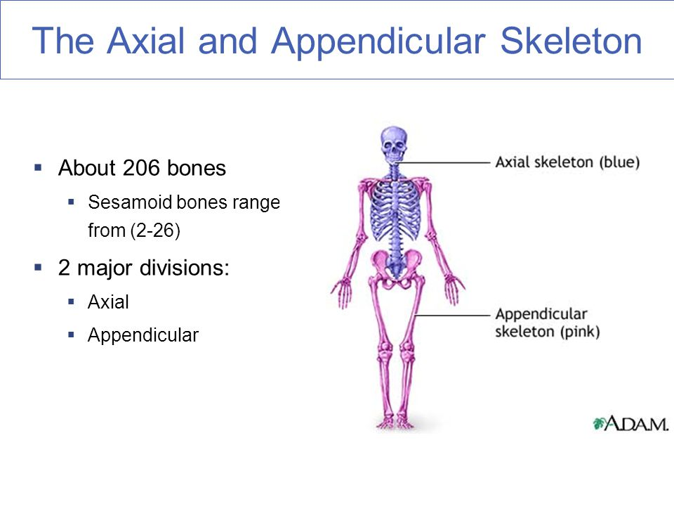 The Axial and Appendicular Skeleton  About 206 bones  Sesamoid bones range from (2-26)  2 major divisions:  Axial  Appendicular