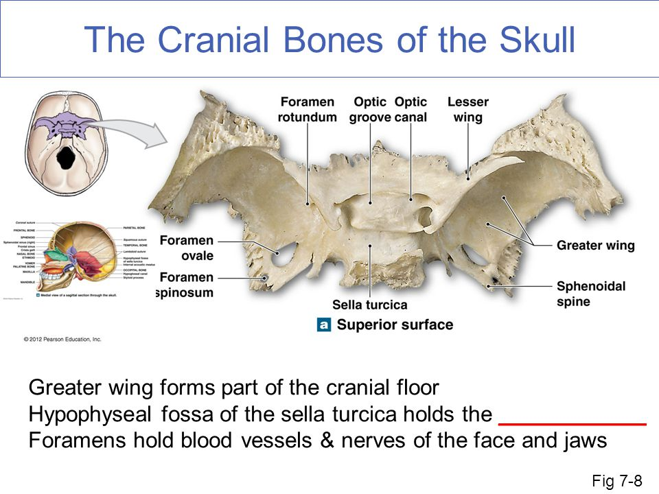 The Cranial Bones of the Skull Greater wing forms part of the cranial floor Hypophyseal fossa of the sella turcica holds the ____________ Foramens hold blood vessels & nerves of the face and jaws Fig 7-8