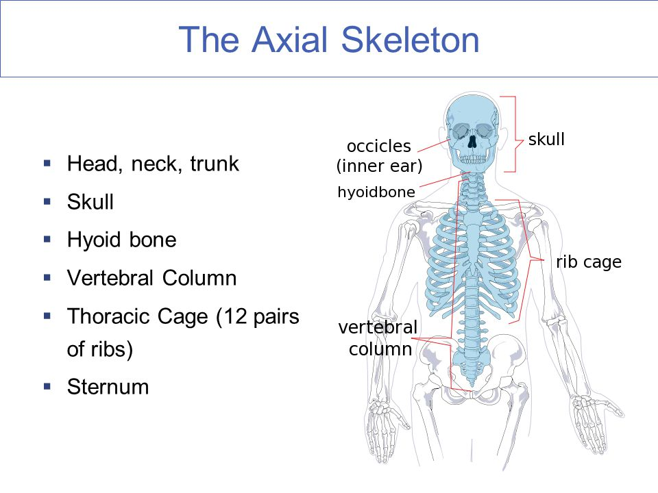 The Axial Skeleton  Head, neck, trunk  Skull  Hyoid bone  Vertebral Column  Thoracic Cage (12 pairs of ribs)  Sternum