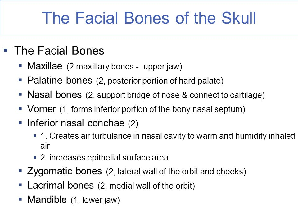 The Facial Bones of the Skull  The Facial Bones  Maxillae (2 maxillary bones - upper jaw)  Palatine bones (2, posterior portion of hard palate)  Nasal bones (2, support bridge of nose & connect to cartilage)  Vomer (1, forms inferior portion of the bony nasal septum)  Inferior nasal conchae (2)  1.