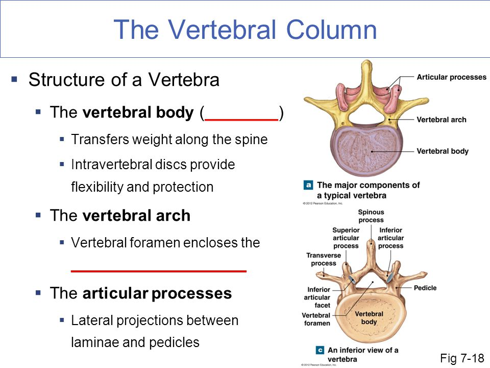 The Vertebral Column  Structure of a Vertebra  The vertebral body (________)  Transfers weight along the spine  Intravertebral discs provide flexibility and protection  The vertebral arch  Vertebral foramen encloses the _______________________  The articular processes  Lateral projections between laminae and pedicles Fig 7-18