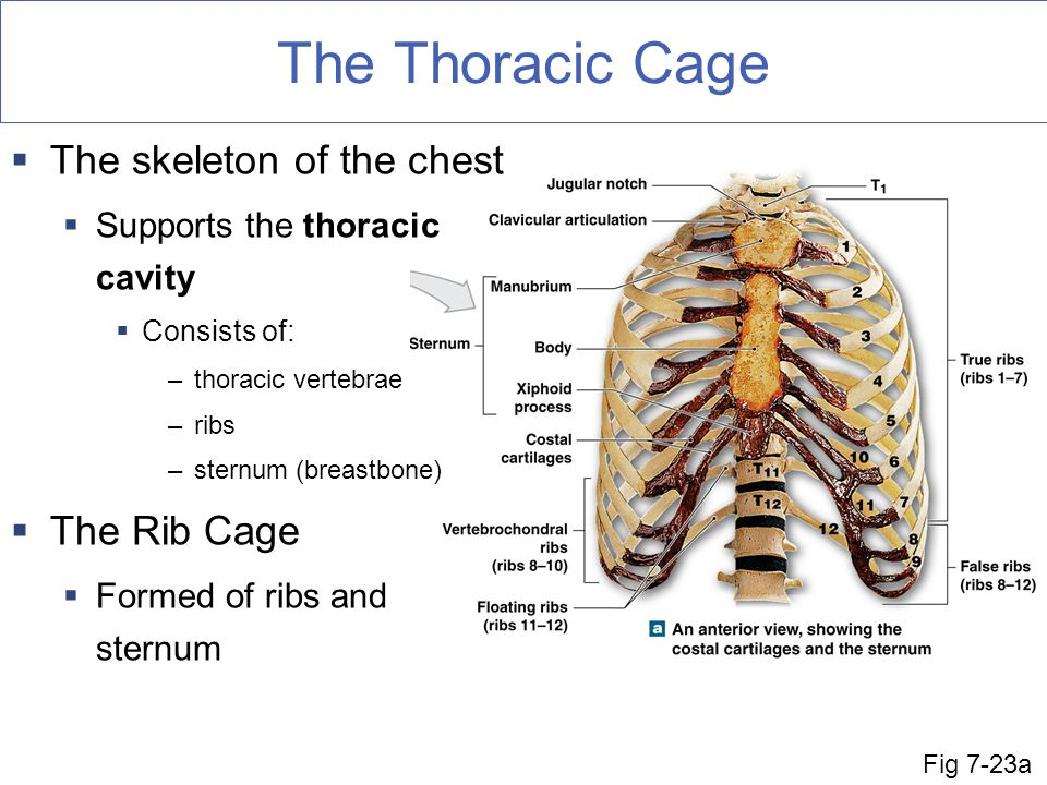 The Thoracic Cage Fig 7-23a  The skeleton of the chest  Supports the thoracic cavity  Consists of: –thoracic vertebrae –ribs –sternum (breastbone)  The Rib Cage  Formed of ribs and sternum