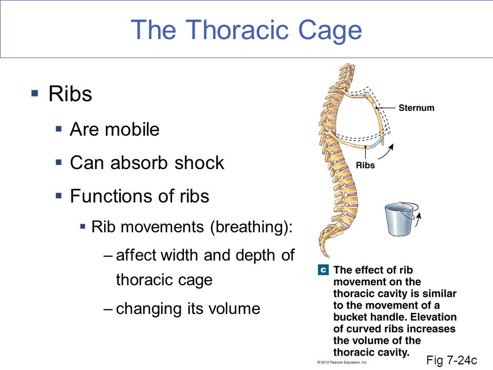 The Thoracic Cage  Ribs  Are mobile  Can absorb shock  Functions of ribs  Rib movements (breathing): –affect width and depth of thoracic cage –changing its volume Fig 7-24c
