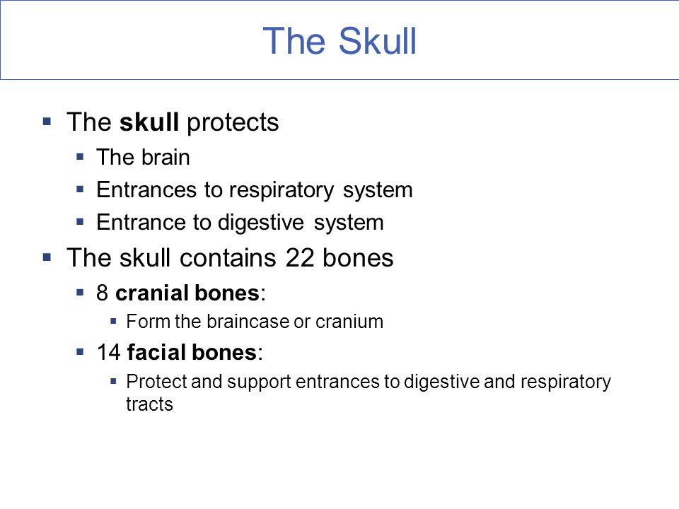 The Skull  The skull protects  The brain  Entrances to respiratory system  Entrance to digestive system  The skull contains 22 bones  8 cranial bones:  Form the braincase or cranium  14 facial bones:  Protect and support entrances to digestive and respiratory tracts