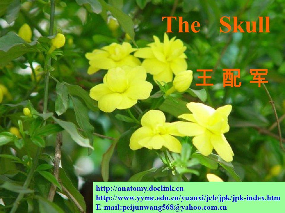郧阳医学院解剖教研室 The Skull 王 配 军王 配 军 http://anatomy.doclink.cn http://www.yymc.edu.cn/yuanxi/jcb/jpk/jpk-index.htm E-mail:peijunwang568@yahoo.com.cn