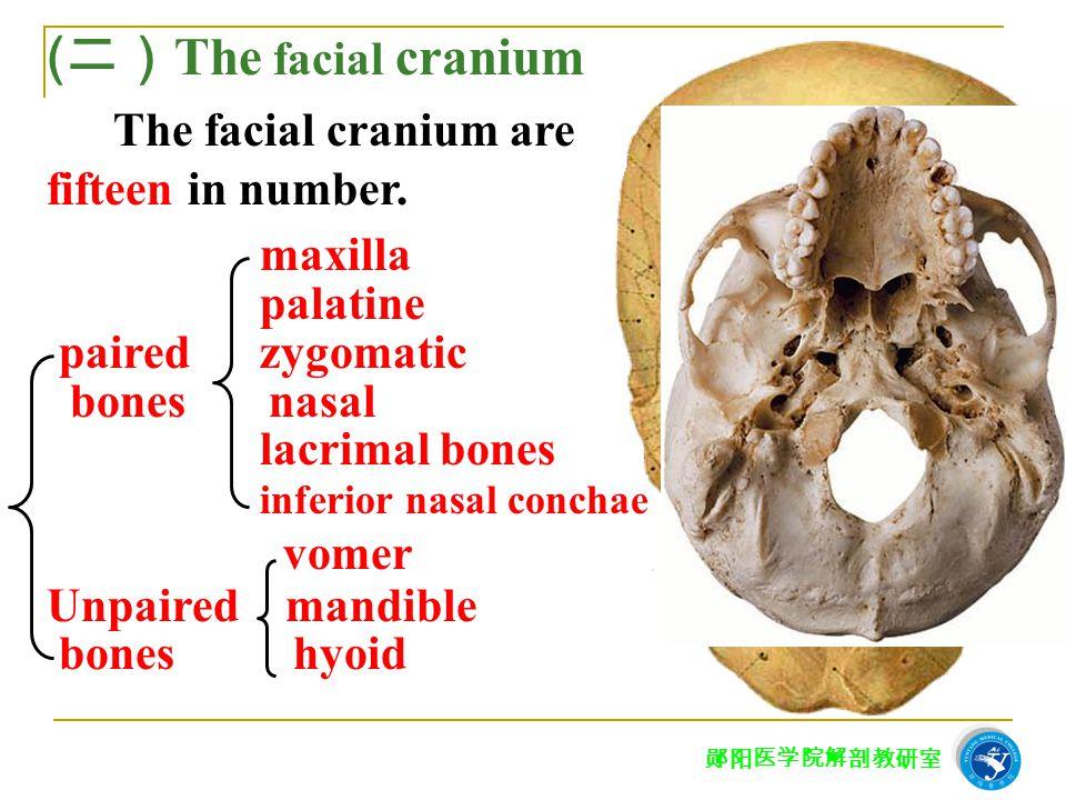 郧阳医学院解剖教研室 maxilla palatine paired zygomatic bones nasal lacrimal bones inferior nasal conchae vomer Unpaired mandible bones hyoid ( 二) The facial cra