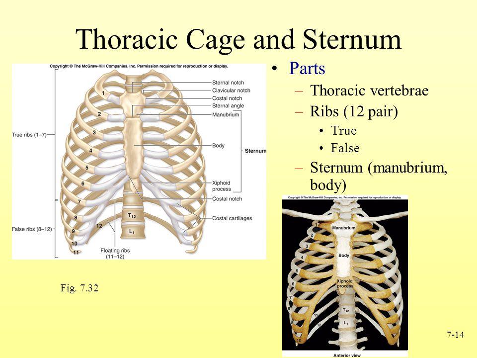7-14 Thoracic Cage and Sternum Parts –Thoracic vertebrae –Ribs (12 pair) True False –Sternum (manubrium, body) Fig.