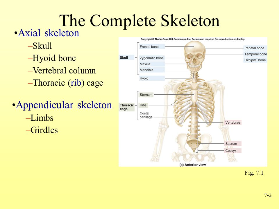 7-2 The Complete Skeleton Axial skeleton –Skull –Hyoid bone –Vertebral column –Thoracic (rib) cage Appendicular skeleton –Limbs –Girdles Fig. 7.1