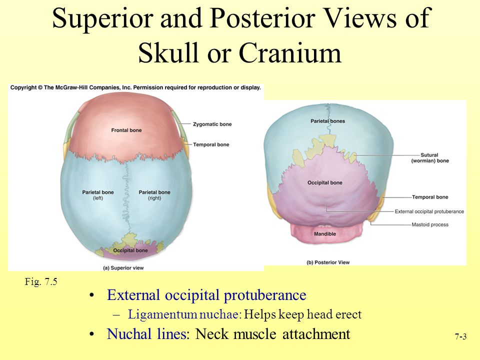 7-3 Superior and Posterior Views of Skull or Cranium Fig. 7.5 External occipital protuberance –Ligamentum nuchae: Helps keep head erect Nuchal lines: