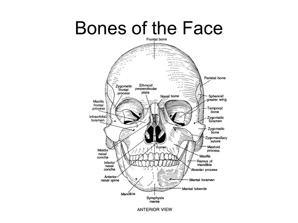 Bones of the Face