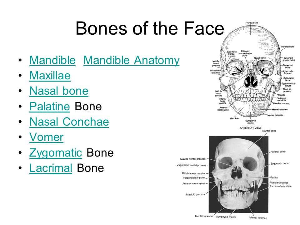 Mandible Mandible AnatomyMandibleMandible Anatomy Maxillae Nasal bone Palatine BonePalatine Nasal Conchae Vomer Zygomatic BoneZygomatic Lacrimal BoneLacrimal