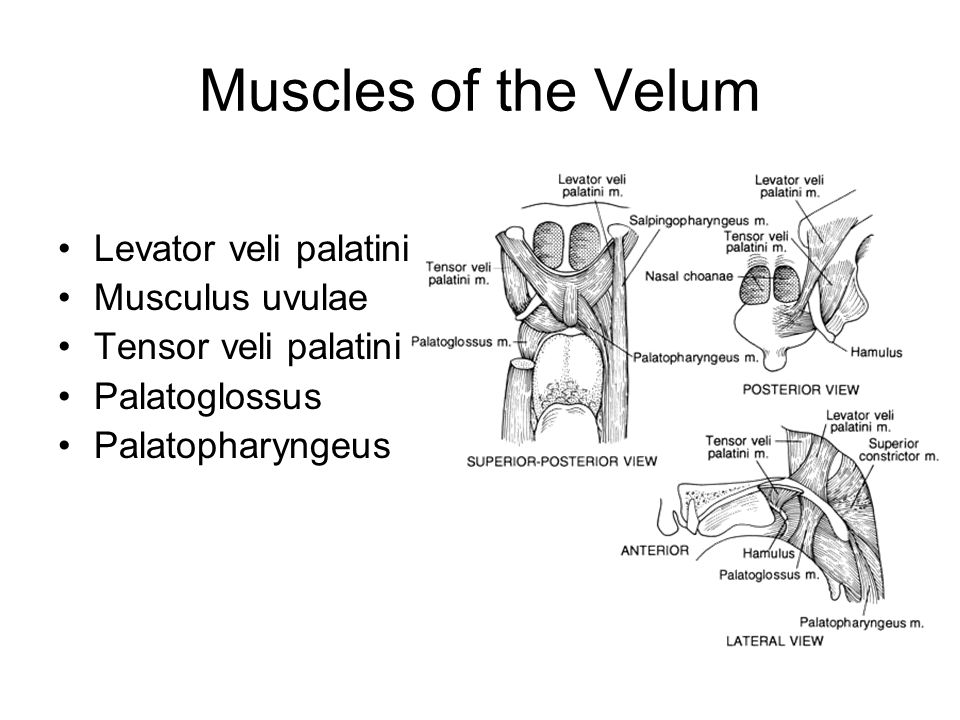 Muscles of the Velum Levator veli palatini Musculus uvulae Tensor veli palatini Palatoglossus Palatopharyngeus