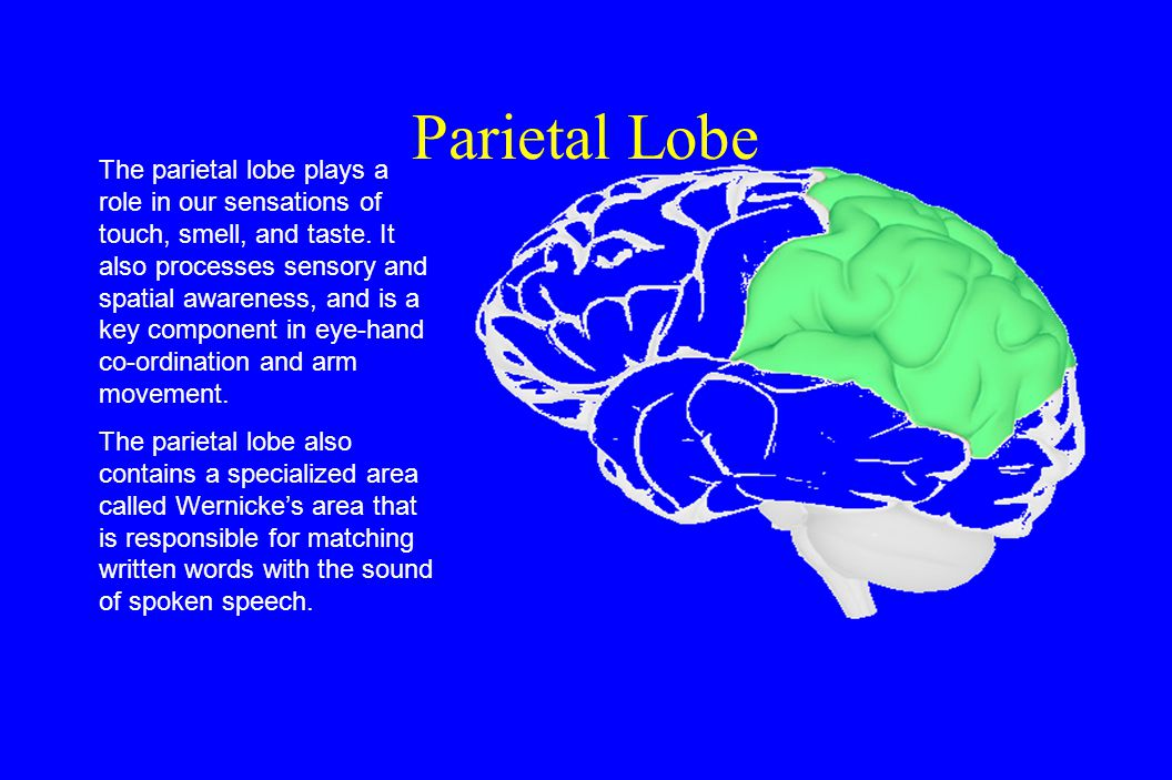 Parietal Lobe The parietal lobe plays a role in our sensations of touch, smell, and taste.