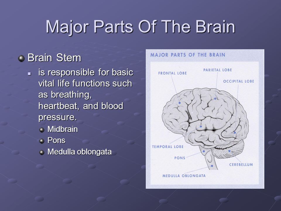 Major Parts Of The Brain Brain Stem is responsible for basic vital life functions such as breathing, heartbeat, and blood pressure.