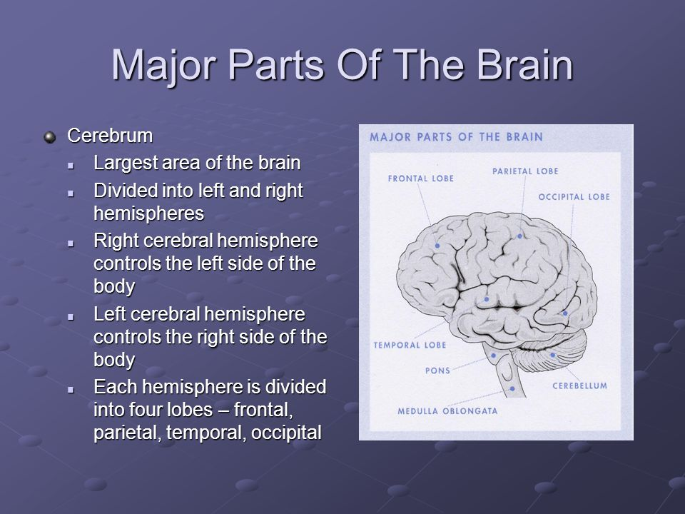 Major Parts Of The Brain Cerebrum Largest area of the brain Largest area of the brain Divided into left and right hemispheres Divided into left and right hemispheres Right cerebral hemisphere controls the left side of the body Right cerebral hemisphere controls the left side of the body Left cerebral hemisphere controls the right side of the body Left cerebral hemisphere controls the right side of the body Each hemisphere is divided into four lobes – frontal, parietal, temporal, occipital Each hemisphere is divided into four lobes – frontal, parietal, temporal, occipital