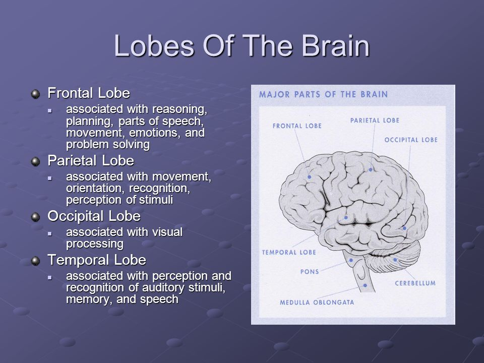 Lobes Of The Brain Frontal Lobe associated with reasoning, planning, parts of speech, movement, emotions, and problem solving associated with reasoning, planning, parts of speech, movement, emotions, and problem solving Parietal Lobe associated with movement, orientation, recognition, perception of stimuli associated with movement, orientation, recognition, perception of stimuli Occipital Lobe associated with visual processing associated with visual processing Temporal Lobe associated with perception and recognition of auditory stimuli, memory, and speech associated with perception and recognition of auditory stimuli, memory, and speech