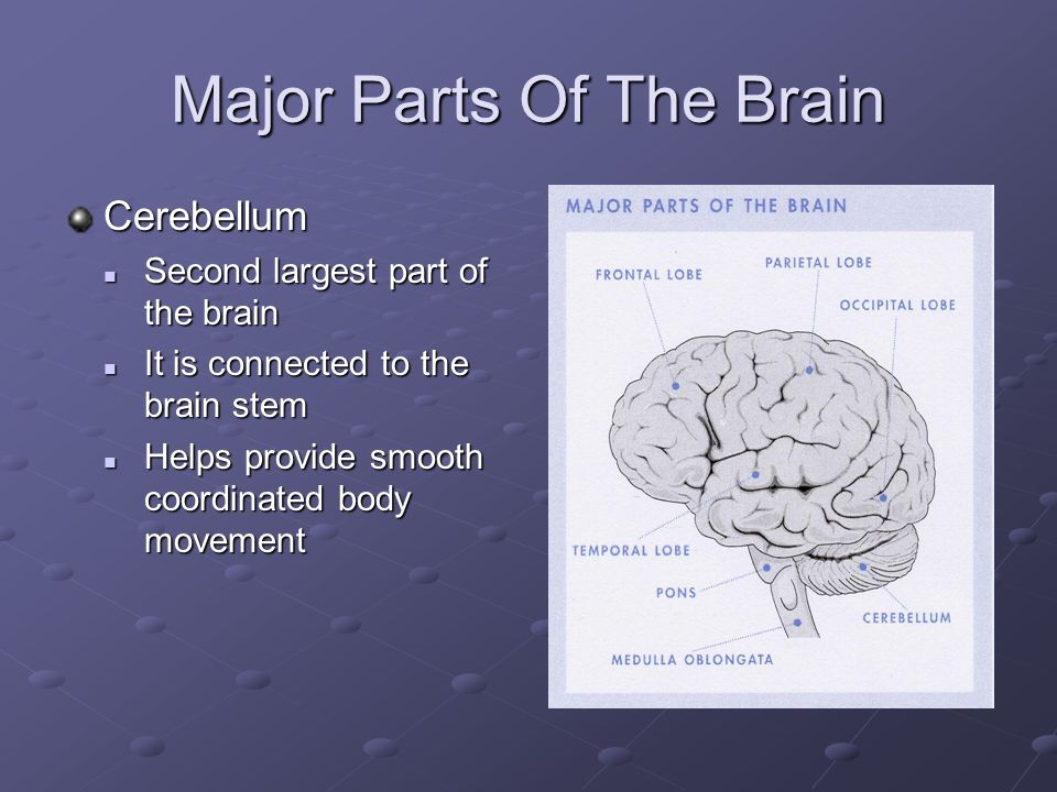 Major Parts Of The Brain Cerebellum Second largest part of the brain Second largest part of the brain It is connected to the brain stem It is connected to the brain stem Helps provide smooth coordinated body movement Helps provide smooth coordinated body movement
