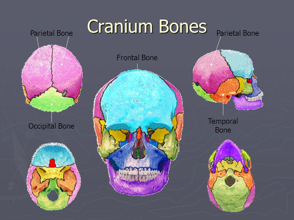 Cranium Bones Frontal Bone Occipital Bone Temporal Bone Parietal Bone