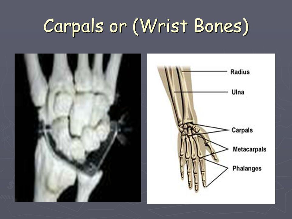 Carpals or (Wrist Bones)