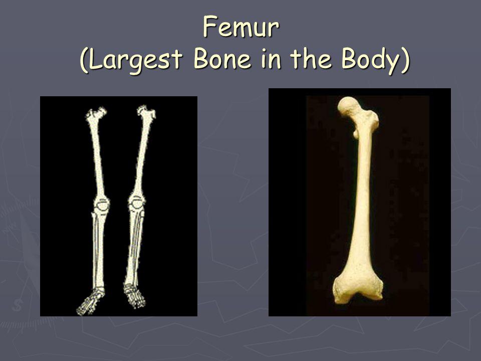 Femur (Largest Bone in the Body)