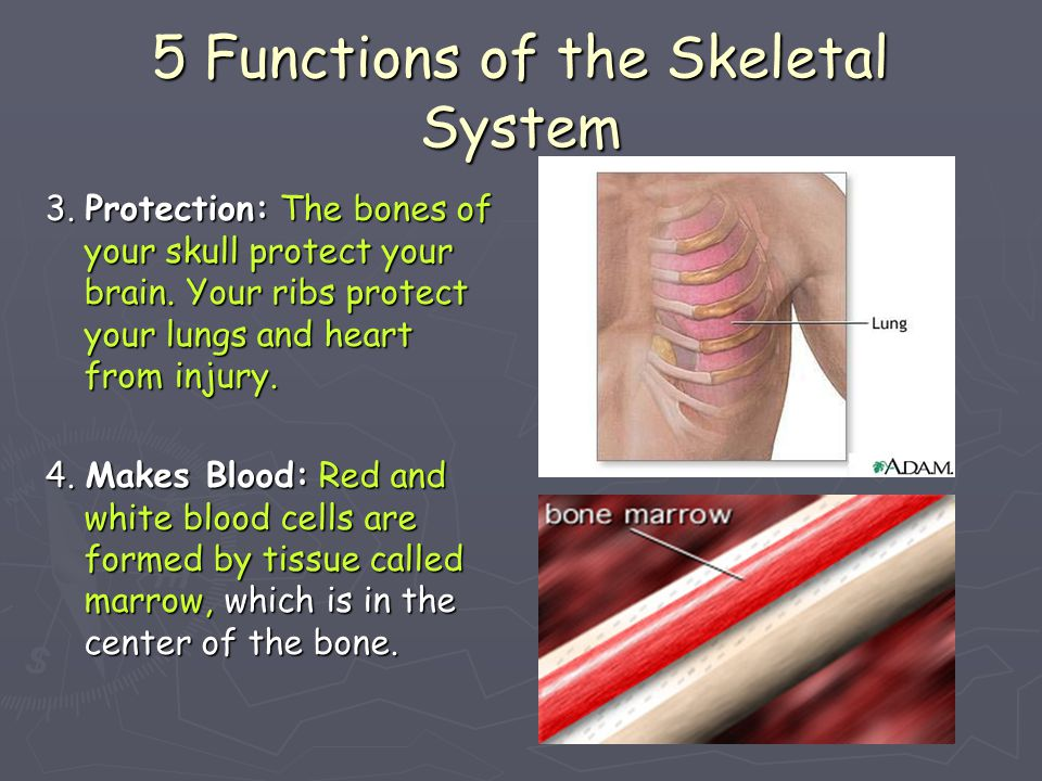 5 Functions of the Skeletal System ► 5.