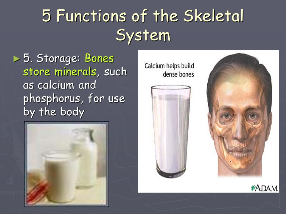 Two Major Skeletal System Parts ► Axial Skeleton: The axial skeleton includes the skull, spine, ribs and sternum.