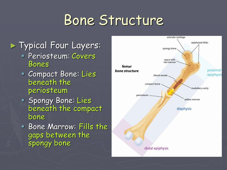 Bones of the Cranium ► Some are thicker than others!!! than others!!!