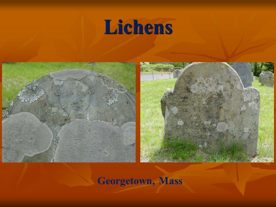 Lichens Georgetown, Mass