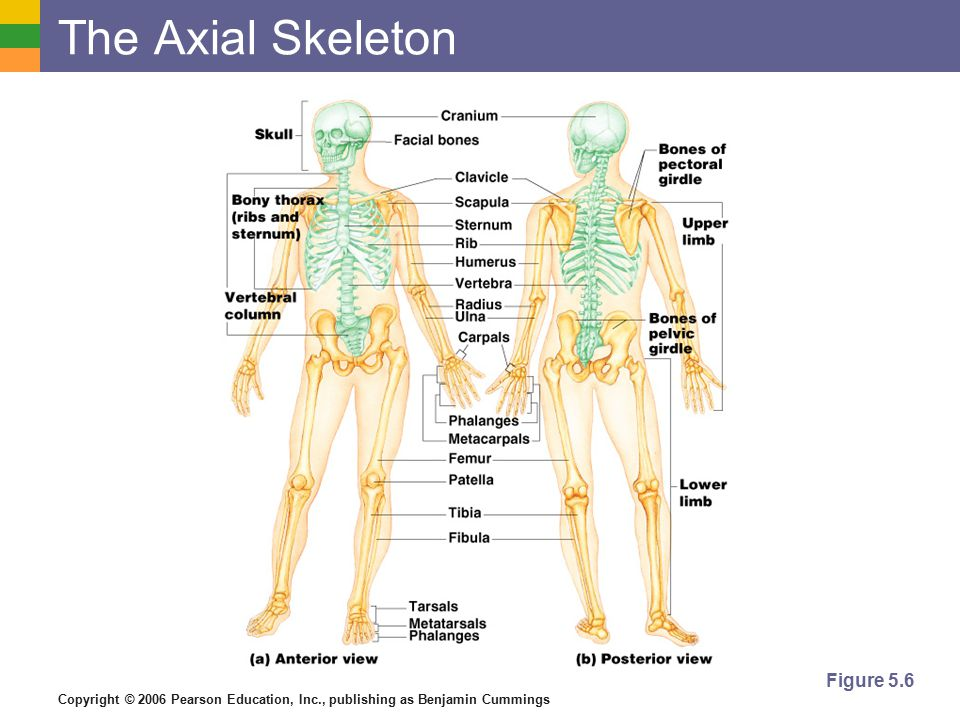 Copyright © 2006 Pearson Education, Inc., publishing as Benjamin Cummings The Skull  Two sets of bones  Cranium  Facial bones  Bones are joined by sutures  Only the mandible is attached by a freely movable joint