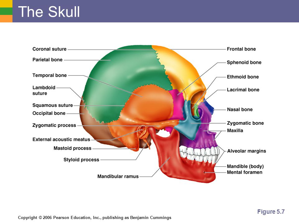 Copyright © 2006 Pearson Education, Inc., publishing as Benjamin Cummings Bones of the Skull Figure 5.11