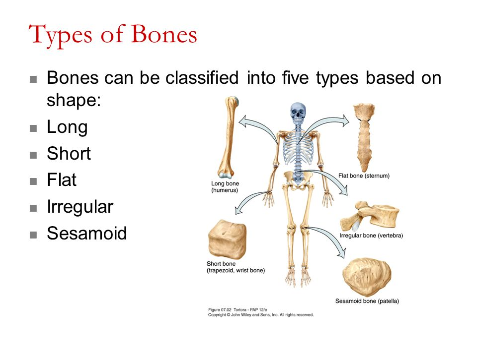 Types of Bones Bones can be classified into five types based on shape: Long Short Flat Irregular Sesamoid