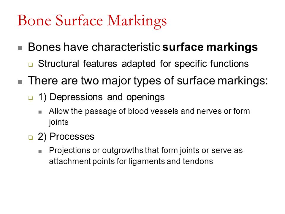 Bone Surface Markings Bones have characteristic surface markings  Structural features adapted for specific functions There are two major types of sur