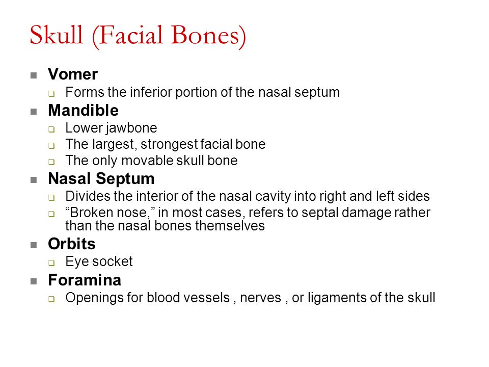 Skull (Facial Bones) Vomer  Forms the inferior portion of the nasal septum Mandible  Lower jawbone  The largest, strongest facial bone  The only m