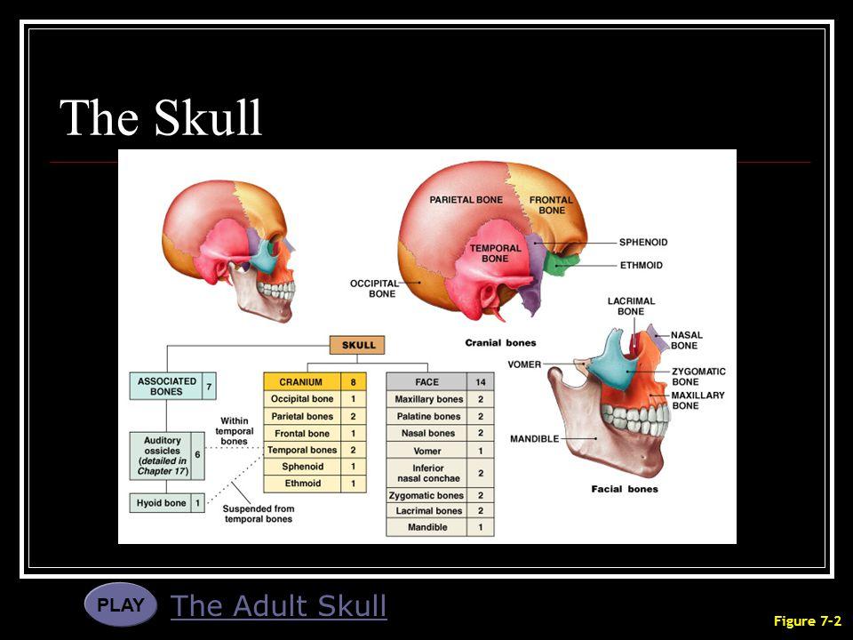 The Skull PLAY The Adult Skull Figure 7–2