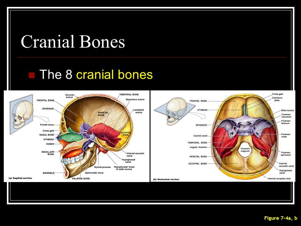 Cranial Bones The 8 cranial bones Figure 7–4a, b