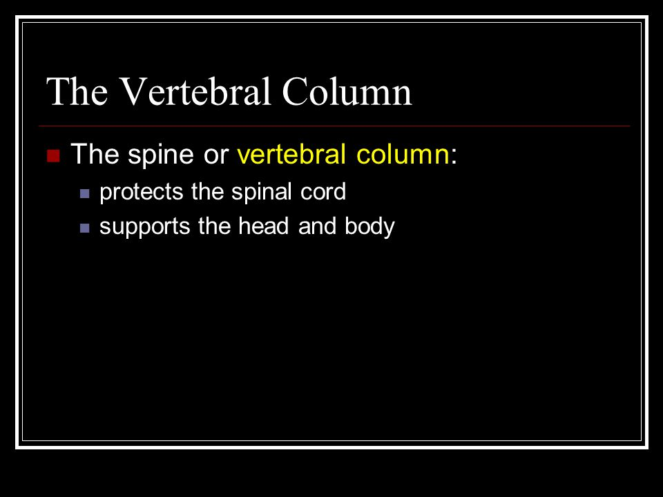 The Vertebral Column The spine or vertebral column: protects the spinal cord supports the head and body