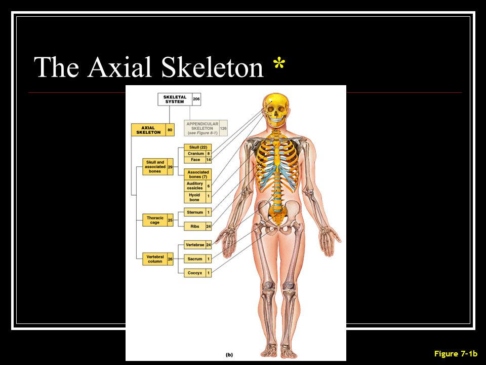 The Axial Skeleton * Figure 7–1b