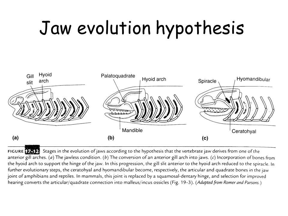 Jaw evolution hypothesis