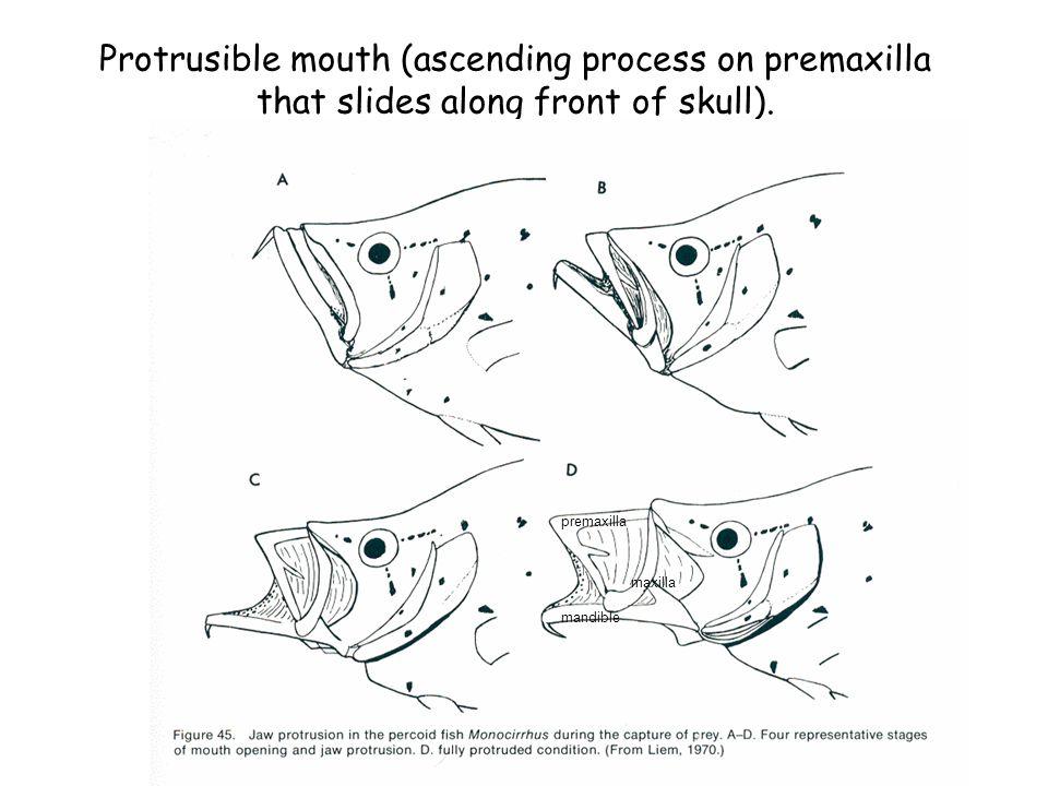 Protrusible mouth (ascending process on premaxilla that slides along front of skull). premaxilla maxilla mandible