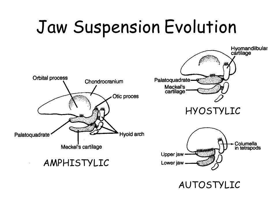 Jaw Suspension Evolution AMPHISTYLIC HYOSTYLICAUTOSTYLIC
