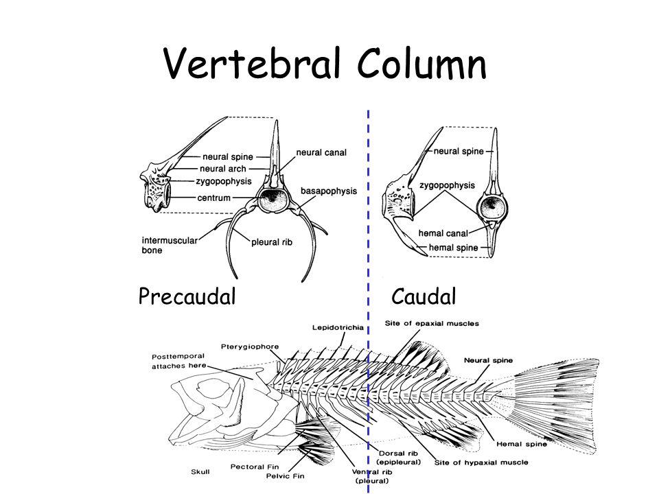 Vertebral Column PrecaudalCaudal